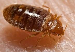Bed_bug,_Cimex_lectularius_phixr